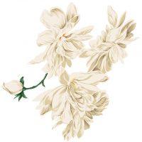 white_rose6