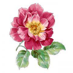 red_rose10