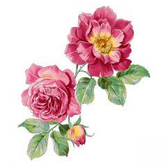 red_rose9