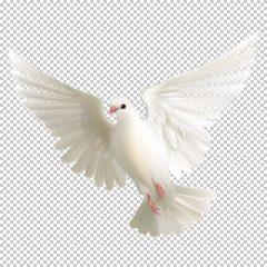 دانلود فایل دوربری شده کبوتر در حال پرواز با کیفیت بالا در ابعاد 1600 در 1300