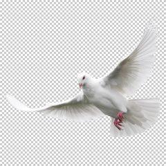 دانلود فایل دوربری شده کبوتر در حال پرواز با کیفیت بالا در ابعاد 500 در 600