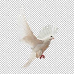 دانلود فایل دوربری شده کبوتر در حال پرواز با کیفیت بالا در ابعاد 600 در 600