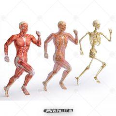 تصویر اناتومی بدن انسان در حال دویدن