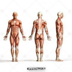 تصویر اناتومی بدن انسان در 3 حالت
