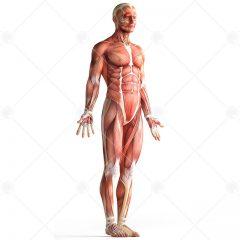 دانلود طرح اناتومی بدن انسان