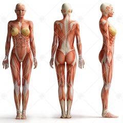 تصویر استوک اناتومی بدن زن