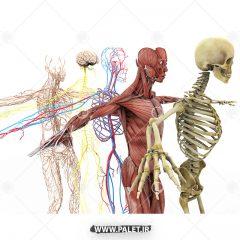 تصویر اناتومی کامل بدن انسان