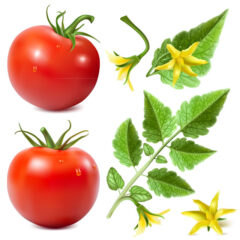 وکتور بوته گوجه فرنگی قرمز